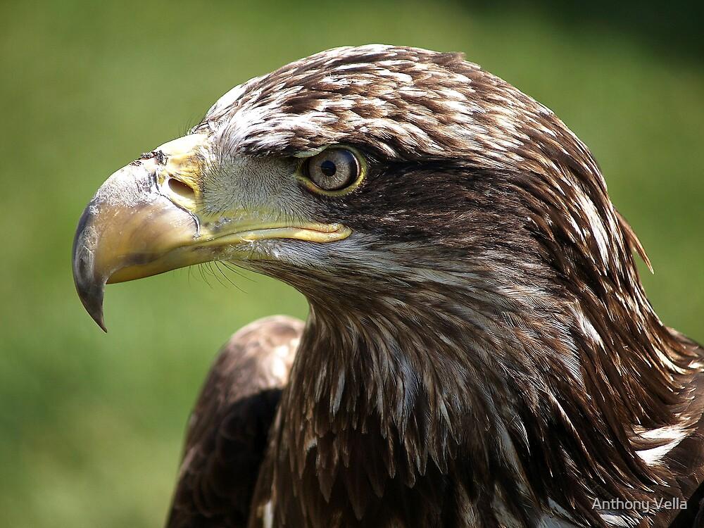 Juvenile Bald Eagle.  by Anthony Vella