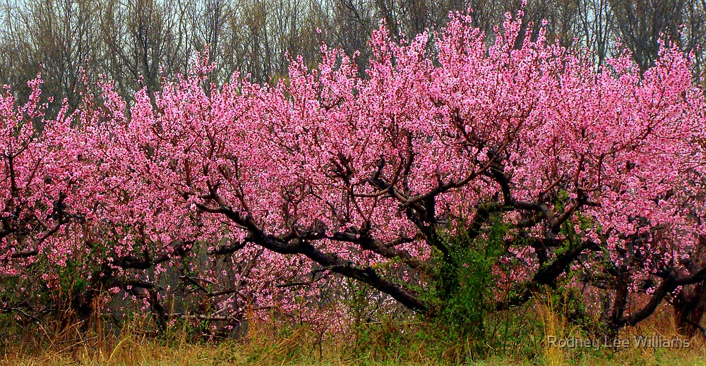 Peach Blossoms in the Rain by Rodney Lee Williams