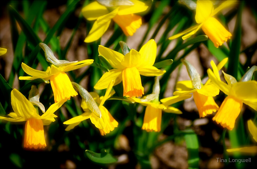 Sunny Daffodils  by Tina Longwell