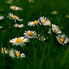 Daisies by Louise Fahy
