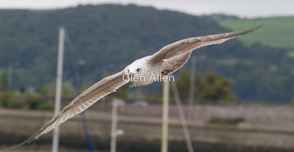 Seagull by Glen Allen