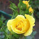 Tender Rose von BlueMoonRose