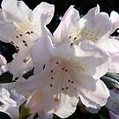 White Rhododendron  by CiaoBella