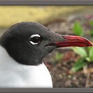 Laughing Gull by glink