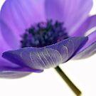 Anemone by Rebecca Cozart
