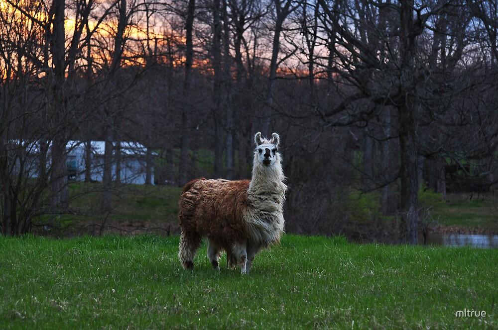 Furry farm animal by mltrue