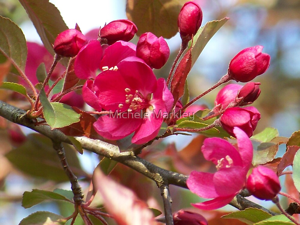 Spring Blossoms by Michele Markley