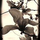 My Own Magnolia by DanaMS