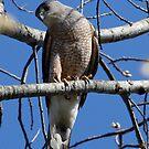 Cooper's Hawk by Dennis Cheeseman