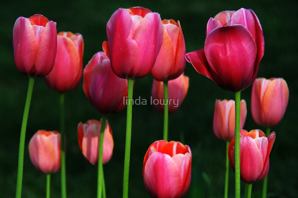 Tulips Underexposed by linda lowry