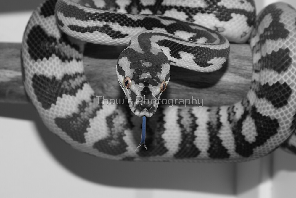 Australian Carpet Python  by Thow's Photography