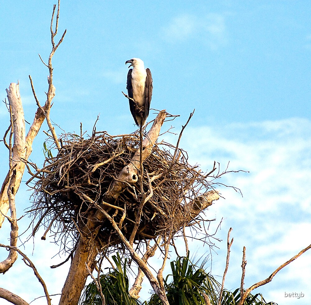 Sea Eagle on Nest by bettyb