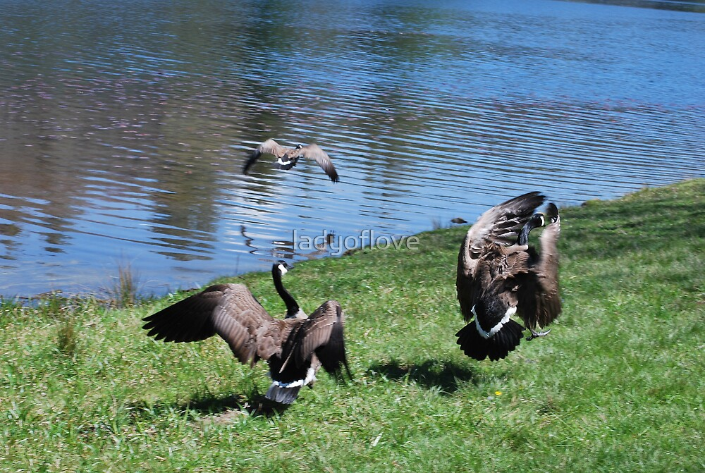 Canadian Geese In Flight by ladyoflove