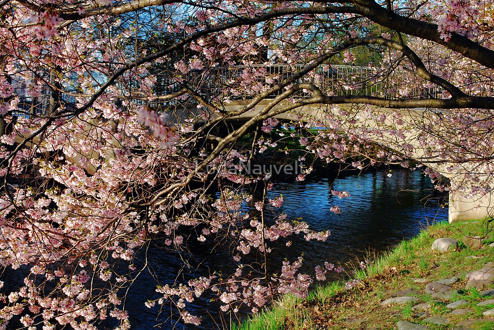 Cherry Blosson over Charles River by LudaNayvelt