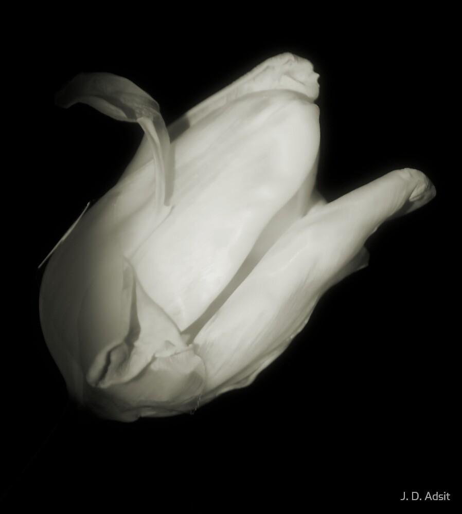 Tulip Blanc by J. D. Adsit