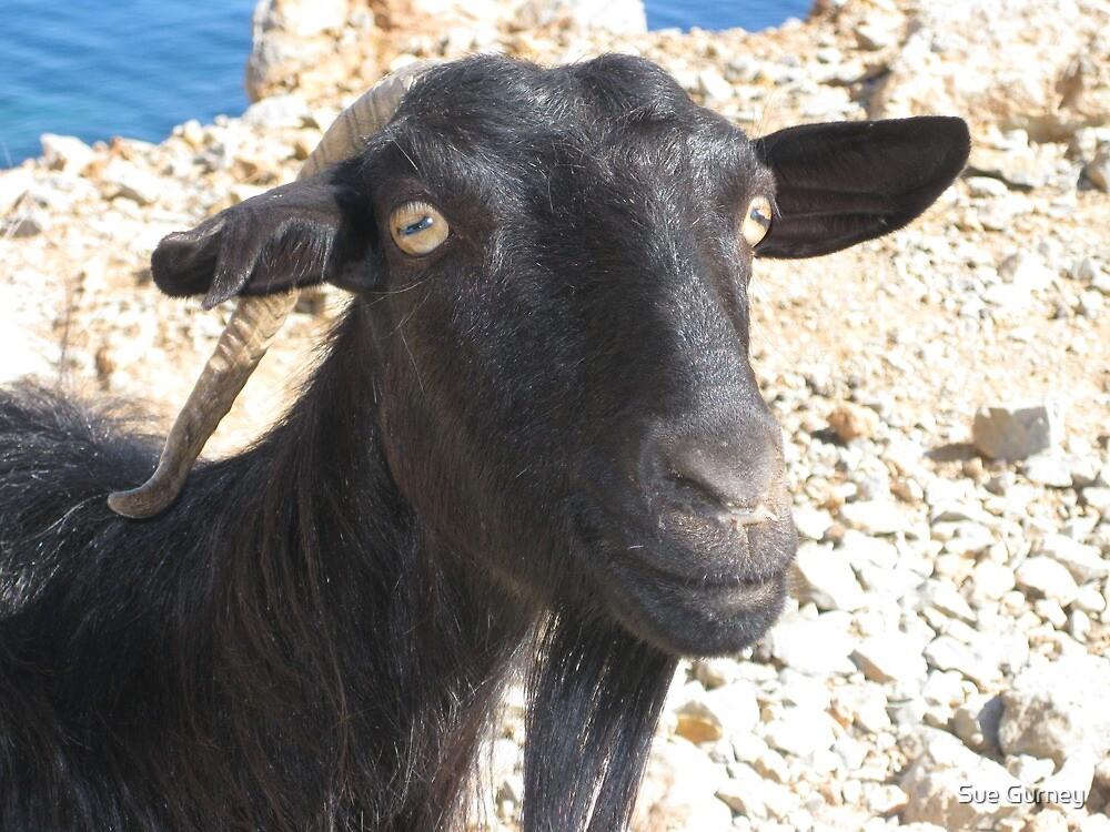 Cretan goat (Kri Kri) on the bumpy road to the Balos Lagoon. by Sue Gurney