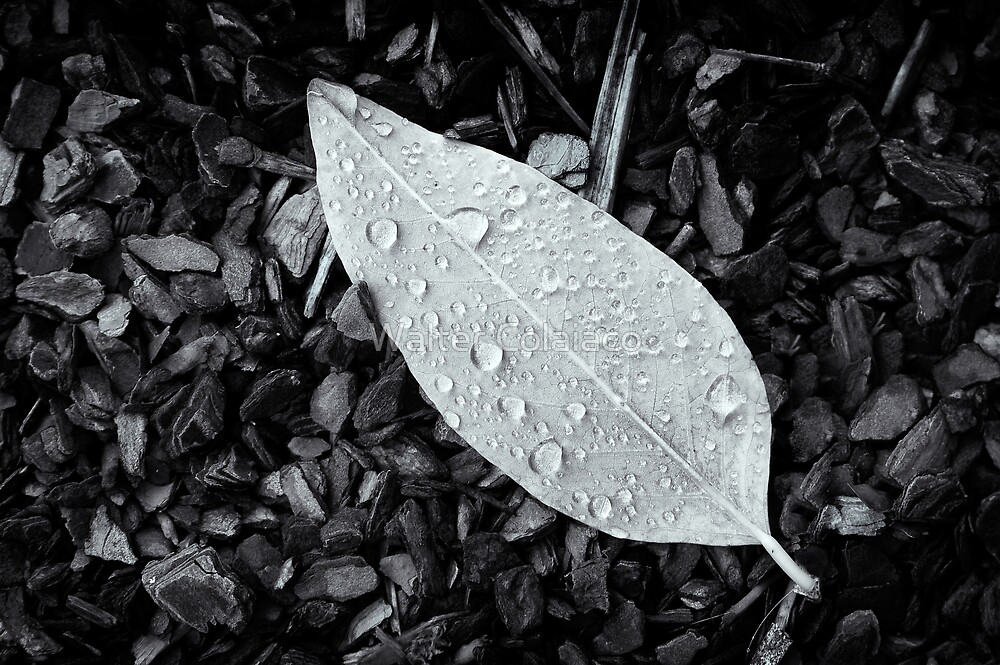 Leaf and Water Drops by Walter Colaiaco