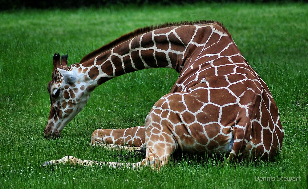 Giraffe relaxing in the Grass by Dennis Stewart