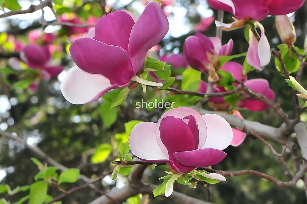 Magnolia in Bloom by sholder