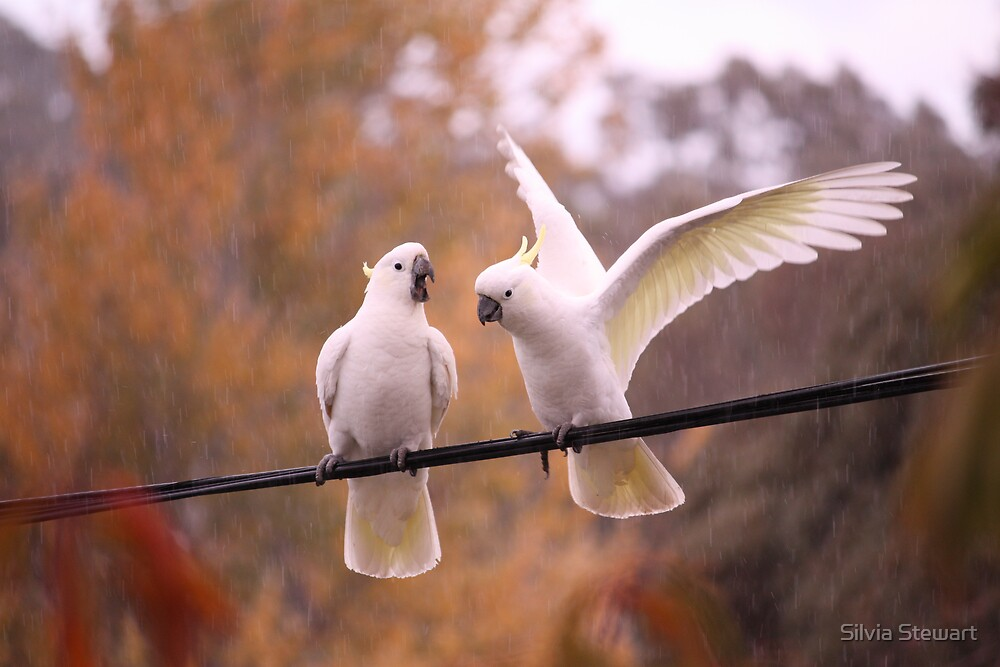 Cockatoos in the rain by Silvia Solberg