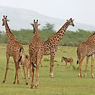 The Long and the Short , Giraffes & Zebras, Lake Manyara National Park,Tanzania by Adrian Paul