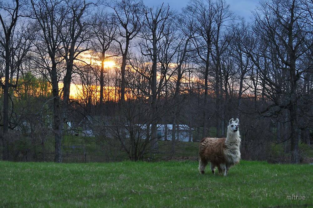 An llama at sunset by mltrue