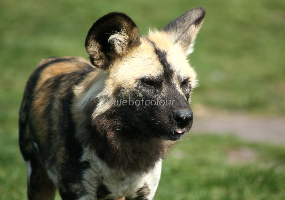 Wild Dog by webofcolour