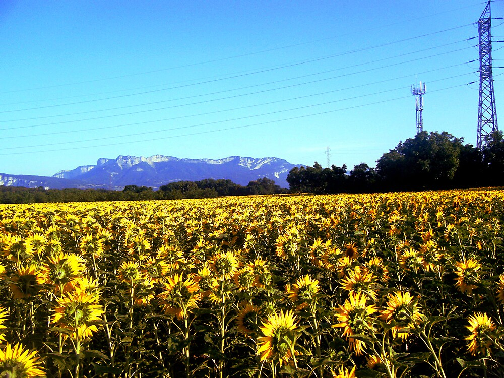 Sunflowers from France by rockko