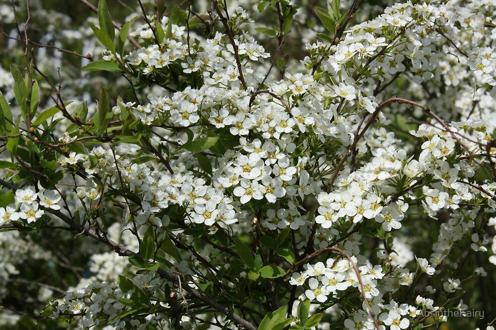 White blossom in bloom by AbsintheFairy