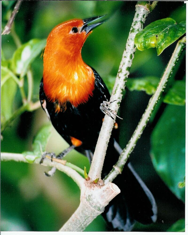 redbreasted bird by mizvicki