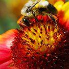 Bee on Blanket Flower by Nancy Barrett