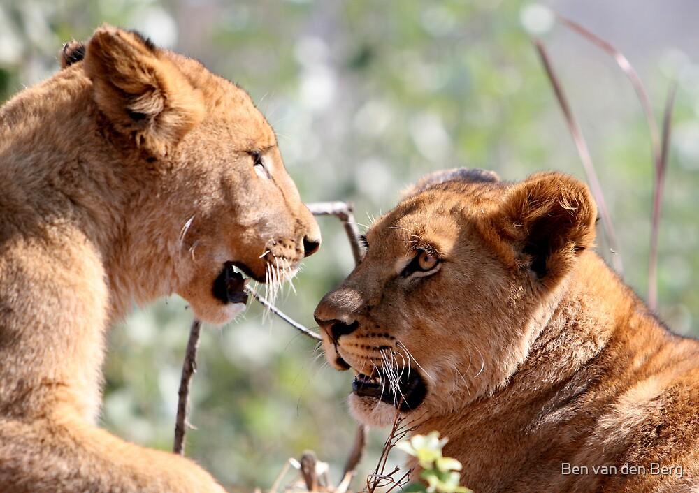 Lion's stare by Ben van den Berg