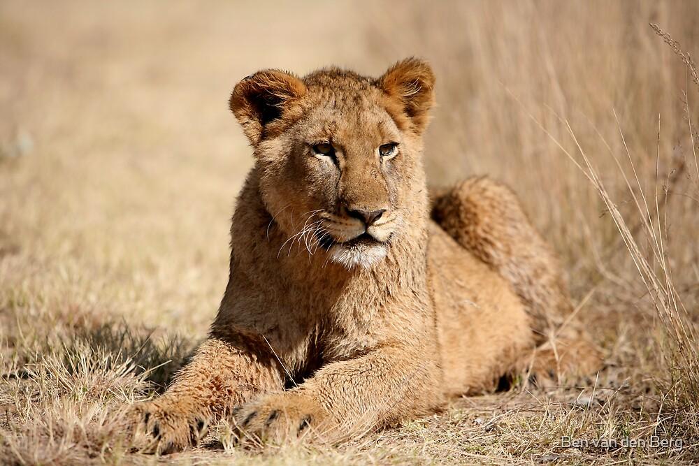 Lion Attention by Ben van den Berg