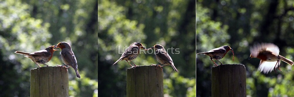 Robins feeding by LisaRoberts