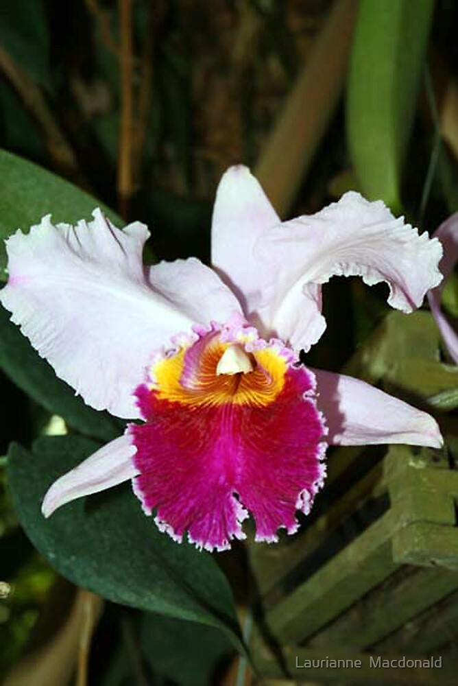 Orchid 34 by Laurianne  Macdonald