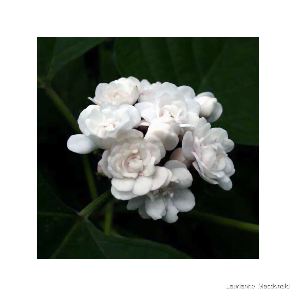 White Cluster by Laurianne  Macdonald