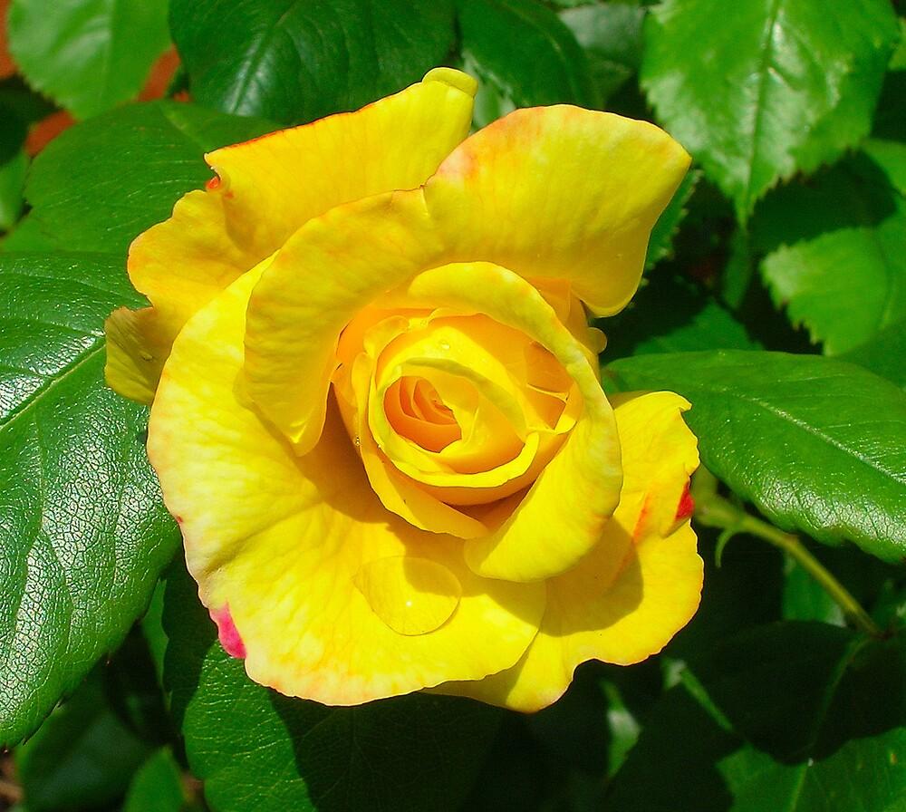 Yellow Rose of Nexus by sandsoftime