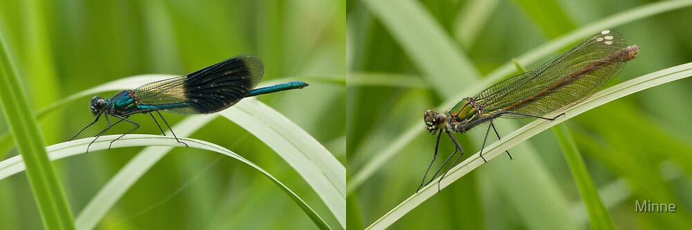 Banded Demoiselle Male and Female by Minne