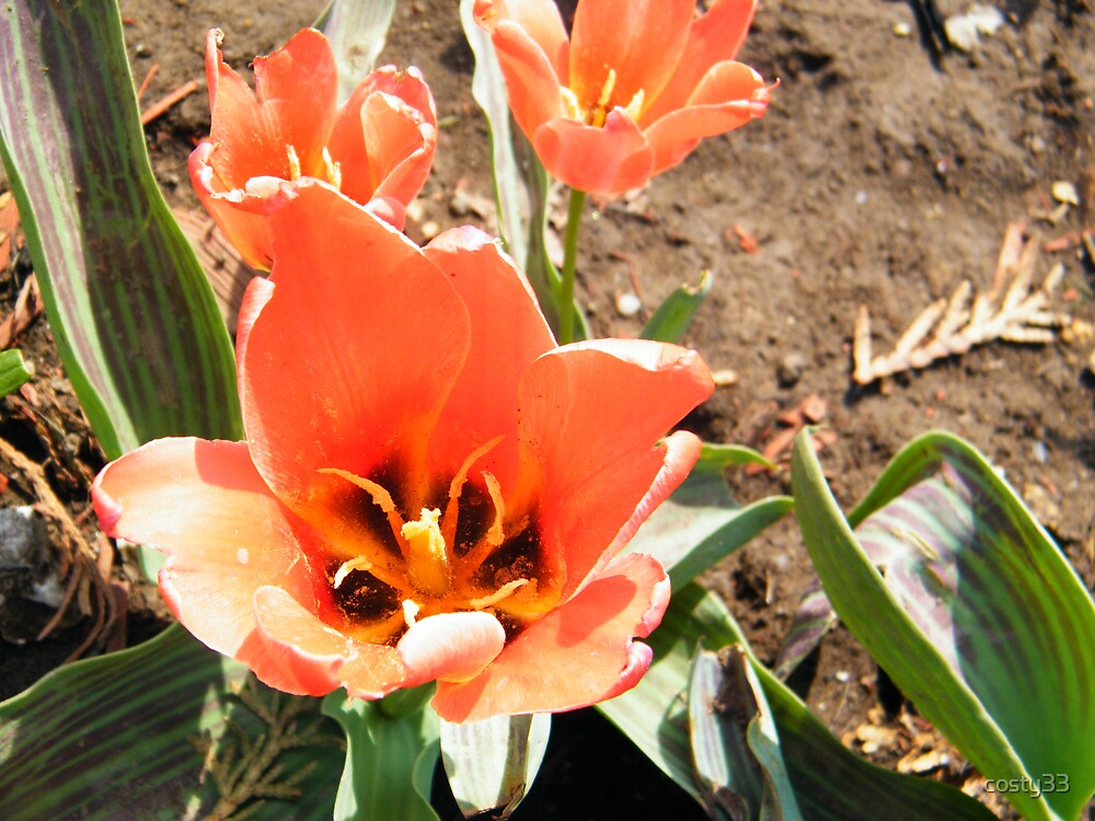 Orange tulip by costy33