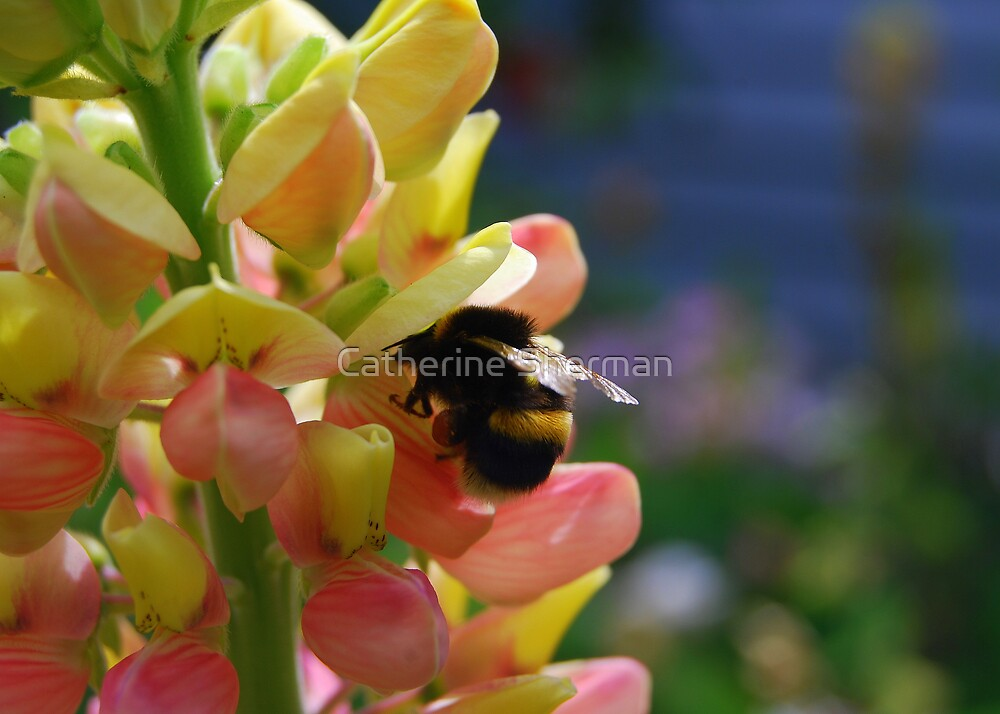 Bumblebee on a Yellow Lupine by Catherine Sherman