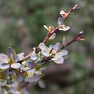 Spring Barberry by Donna R. Cole