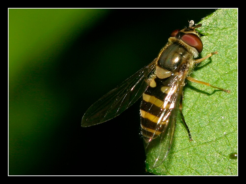 Hoverfly by MelissaH1220