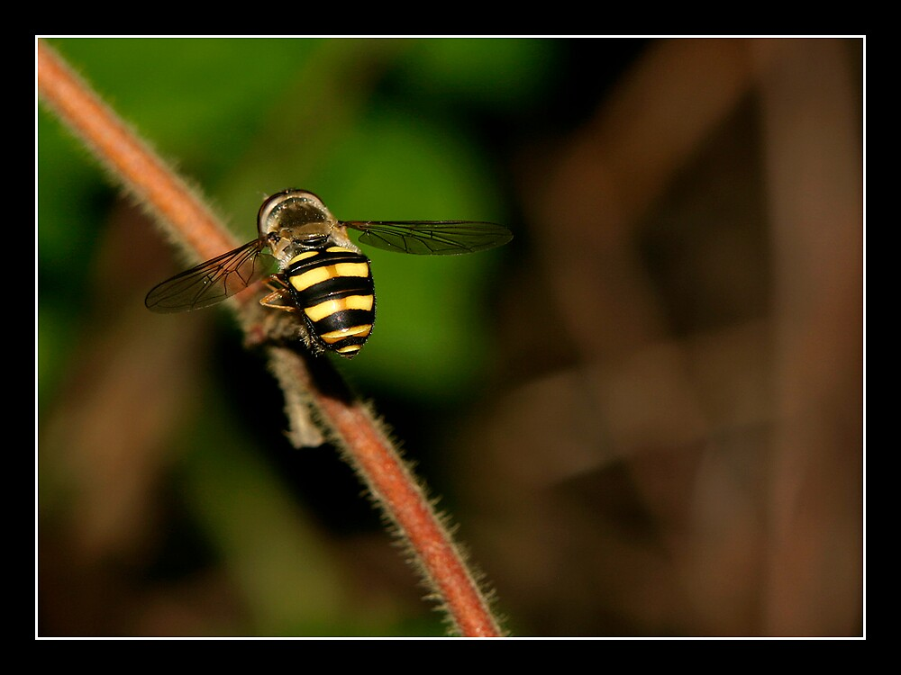Hoverfly 2 by MelissaH1220