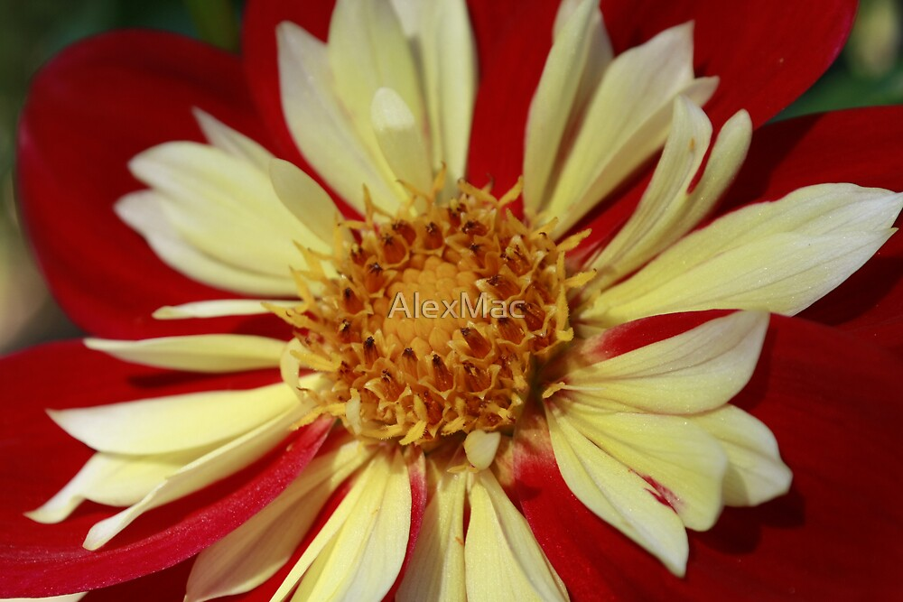 Red and White by AlexMac