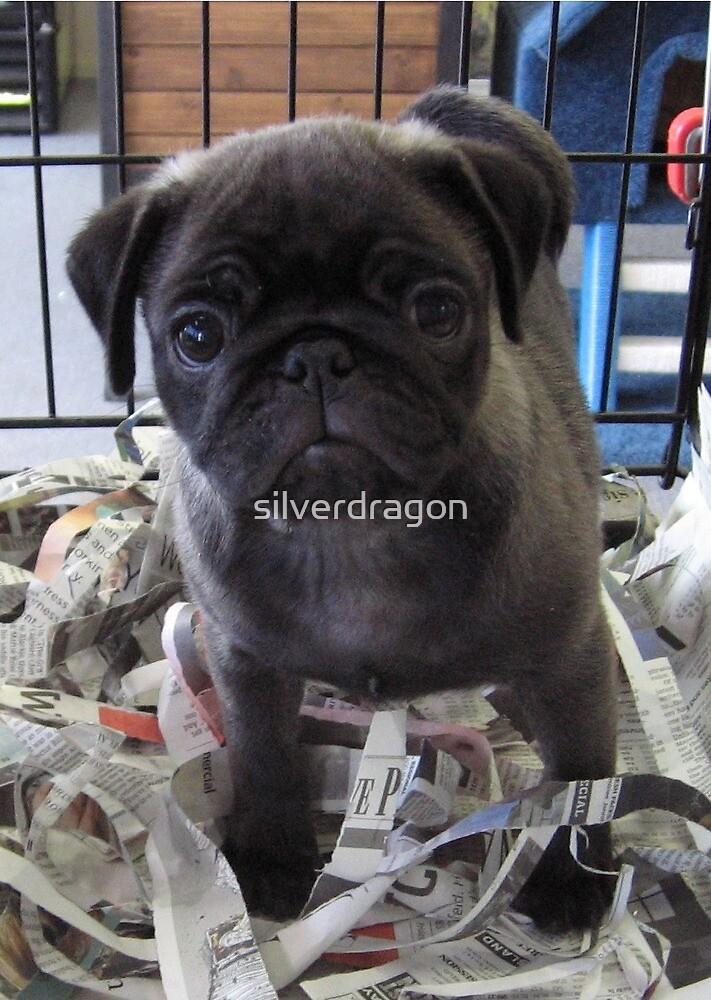 Little Grey Pug Puppy by silverdragon