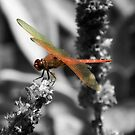 Scarlet Dragonfly by Sharon Woerner