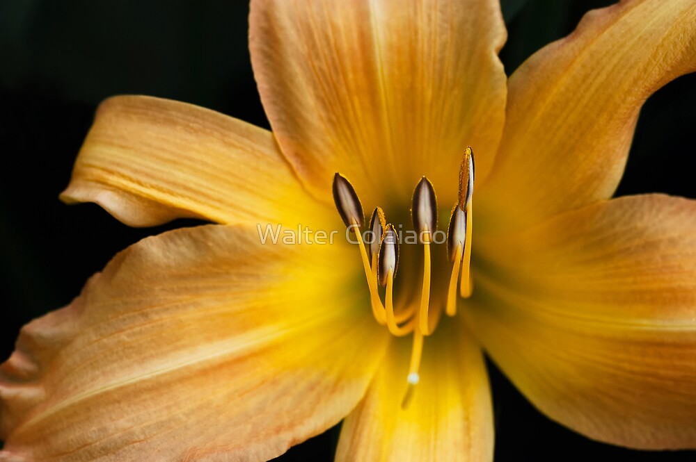 Yellow Flower 3 by Walter Colaiaco