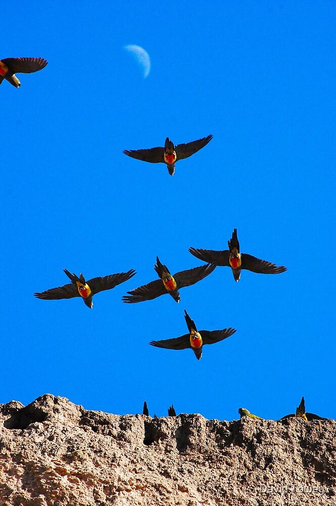 Burrowing Parrots in Flight by David Towey