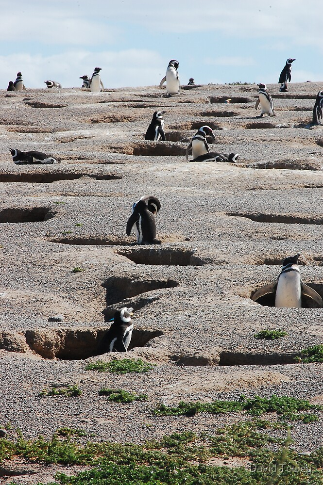 Burrowing Penguins by David Towey