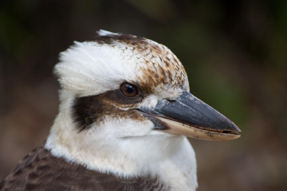 Kookaburra by Sirsy